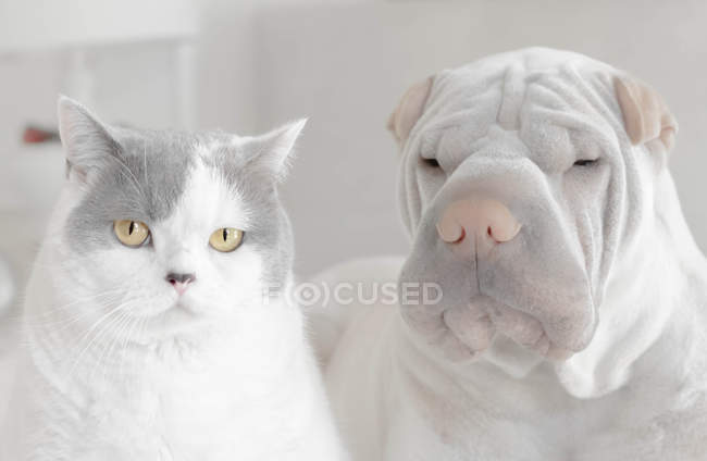 Portrait of a shar-pei dog and British shorthair cat — Stock Photo