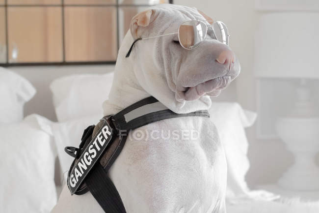 Shar-pei dog with a gangster belt and sunglasses — Stock Photo