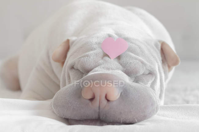 Shar-pei dog with a love heart on  head — Stock Photo