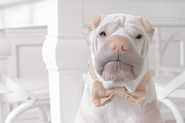 Shar-pei dog wearing a bow tie, closeup view — Stock Photo