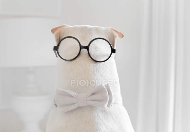 Shar-pei dog wearing a bow tie and spectacles on the back of his head — Stock Photo