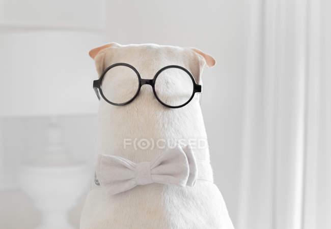 Shar-pei Hund trägt eine Fliege und Brille auf dem Hinterkopf — Stockfoto
