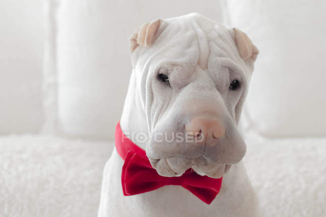 Shar-pei dog wearing bow tie, closeup view — Stock Photo
