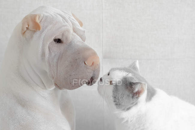 Shar-pei dog face to face with a British shorthair cat — Stock Photo