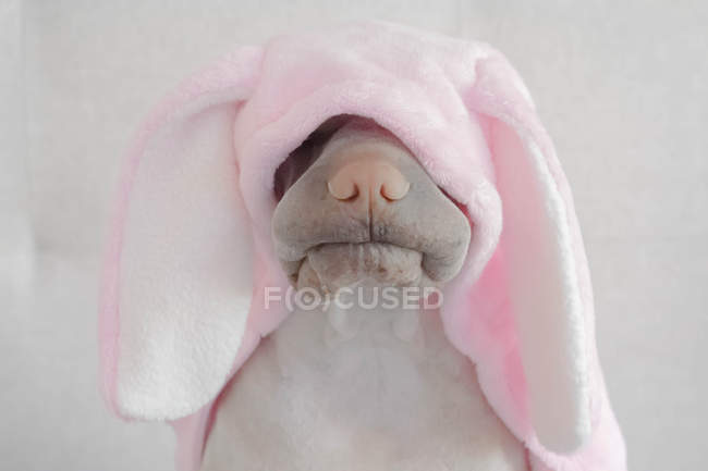 Shar-pei dog wearing rabbit costume, closeup view — Stock Photo