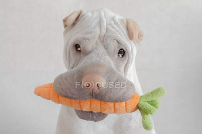 Shar-pei dog with carrot toy in its mouth, closeup view — Stock Photo