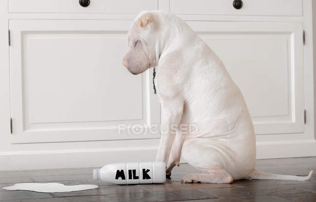 Shar-pei dog with spilt milk bottle, side view — Stock Photo