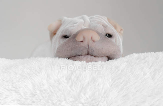 Shar-pei dog resting his head on a rug, closeup view — Stock Photo