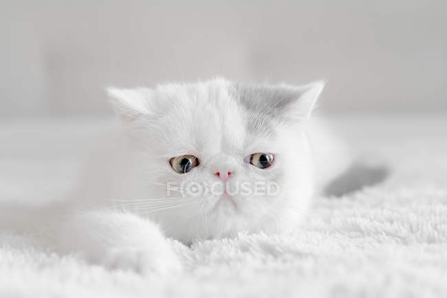 Portrait of an Exotic shorthair kitten, closeup view — Stock Photo