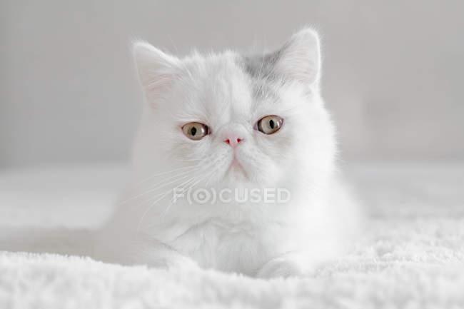Porträt eines exotischen Kurzhaar-Kätzchens, Nahaufnahme — Stockfoto