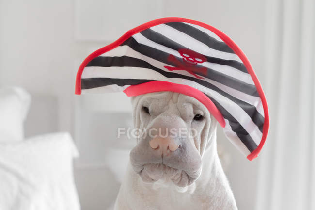 Shar-pei dog wearing a Pirate hat, closeup view — Stock Photo
