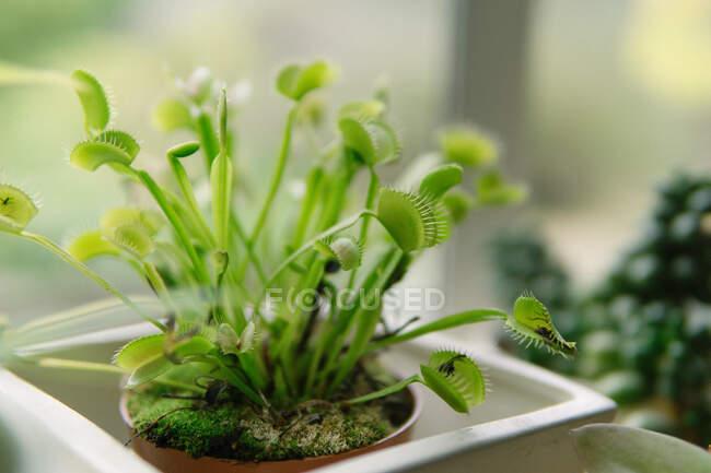 Close-up of a venus fly trap plant — Photo de stock