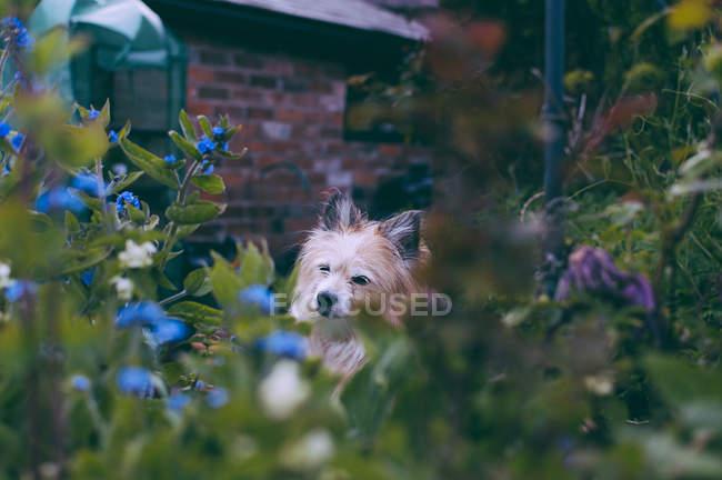 Chien mignon de chorkie s'asseyant dans un jardin — Photo de stock
