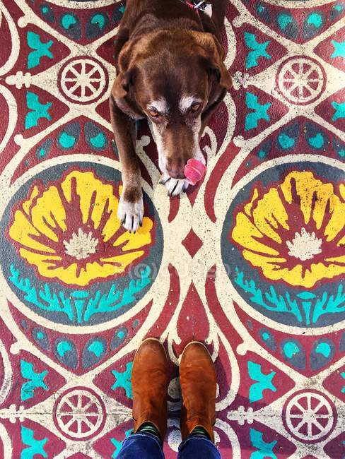 Человек, стоящий напротив шоколадной собаки лабрадора — стоковое фото