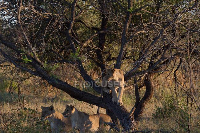 Três lionesses por uma árvore, Maasai Mara, Kenya — Fotografia de Stock