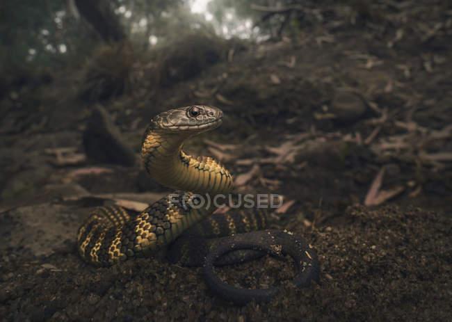 Serpente tigre sulla riva del fiume, attenzione selettiva — Foto stock