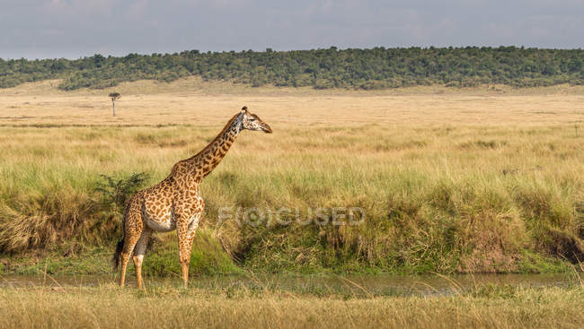 Giraffe sanding in bush, Masai Mara National Park, Narok, Kenya — Stock Photo