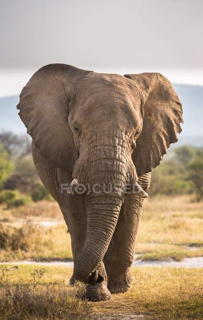 Porträt eines Elefantenbullen, Südafrika — Stockfoto