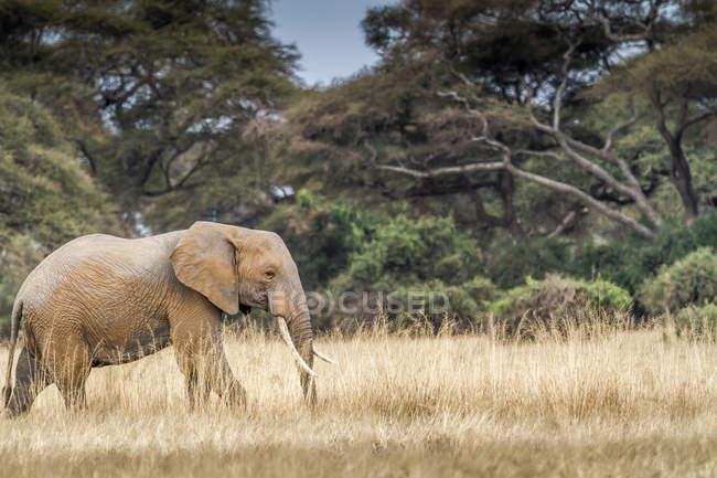 Bull слон, ходить в Буша, Амбосели, Кения — стоковое фото