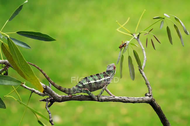 Chameleon catching an insect, closeup view — Stock Photo