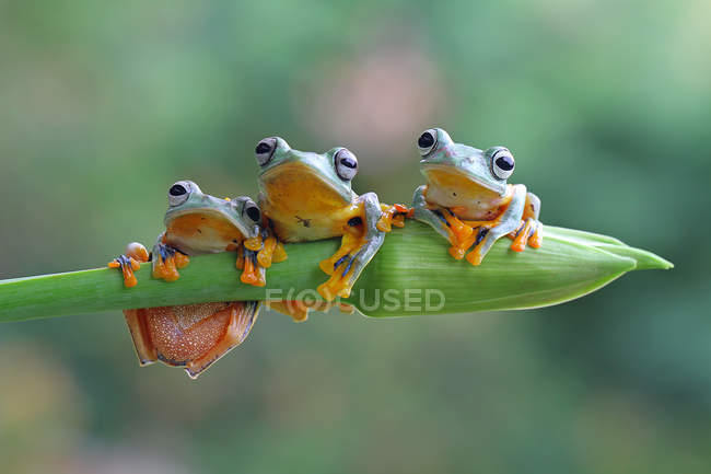 Three flying frogs sitting on a plant, closeup view — Stock Photo