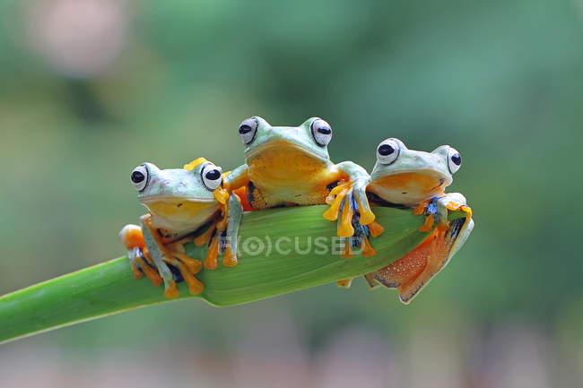 Три летающие лягушки сидят на растении, вид крупным планом — стоковое фото