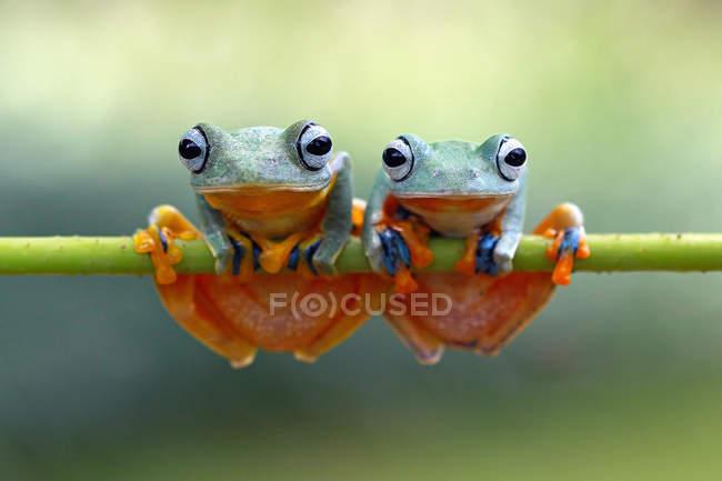 Deux grenouilles volantes vertes assises sur une plante, vue rapprochée — Photo de stock