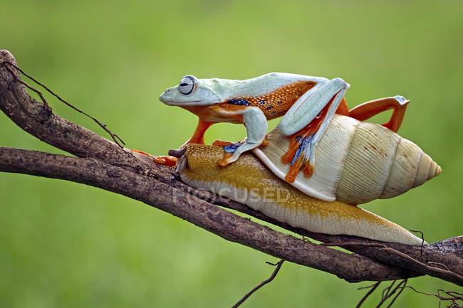 Grenouille arborescente au sommet d'un escargot sur une branche, vue rapprochée — Photo de stock