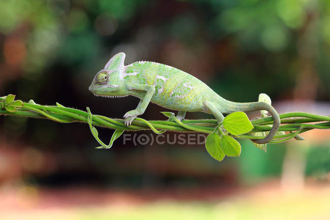 Chameleon walking on a plant, closeup view, selective focus — Stock Photo