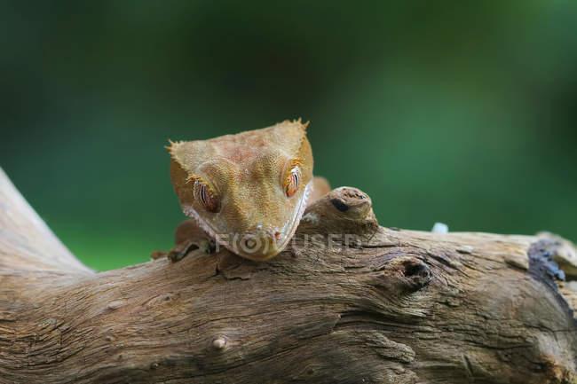 Хохлатый геккон, смотрящий через край ветки, вид крупным планом, селективный фокус — стоковое фото
