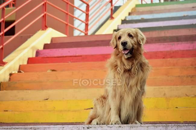 Golden Retriever Hund sitzt auf buntem Treppenaufgang — Stockfoto