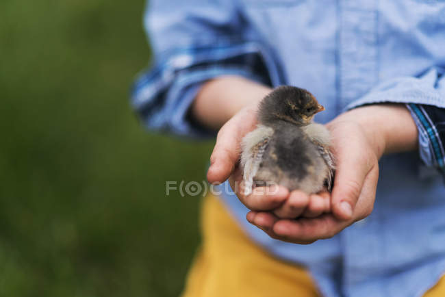 Boy holding a baby chick, cropped image — Stock Photo