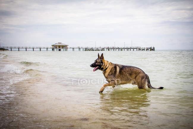 German Shepherd dog walking out of the ocean — Photo de stock