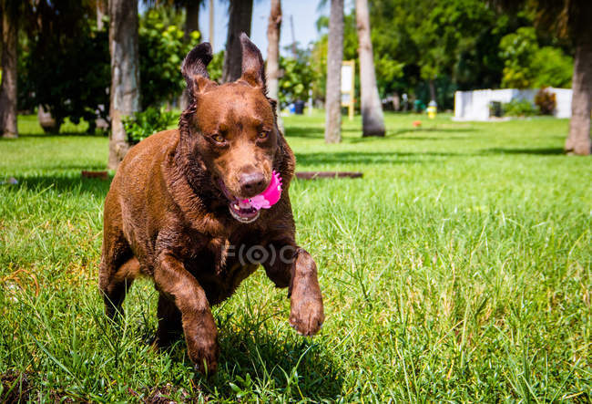 Chocolate labrador dog running with a plastic toy in mouth — стоковое фото