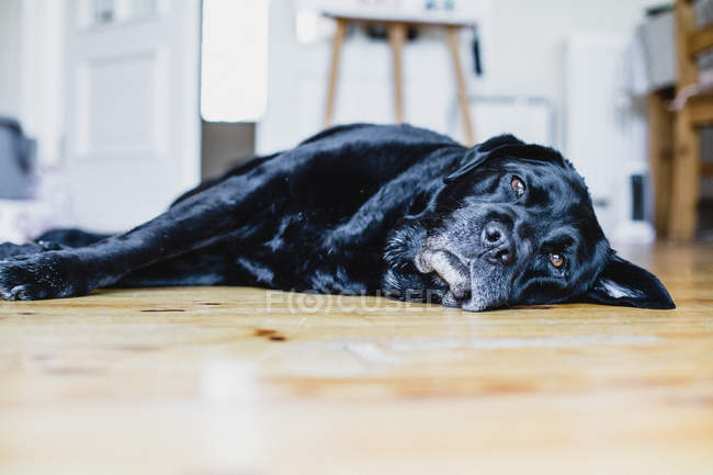Black Labrador dog lying on the floor in a kitchen — Stock Photo