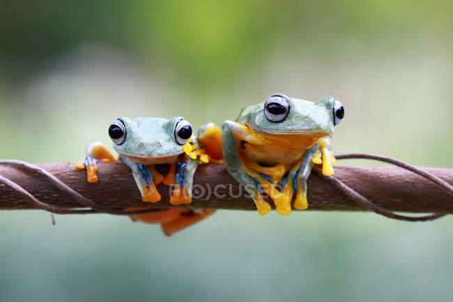 Due rane dell'albero di Javan sul ramo, vista da vicino — Foto stock