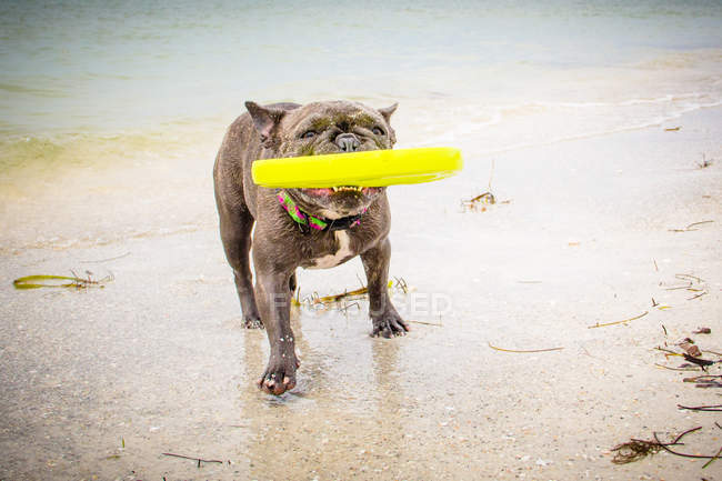 French bulldog on the beach with a frisbee in mouth — Photo de stock