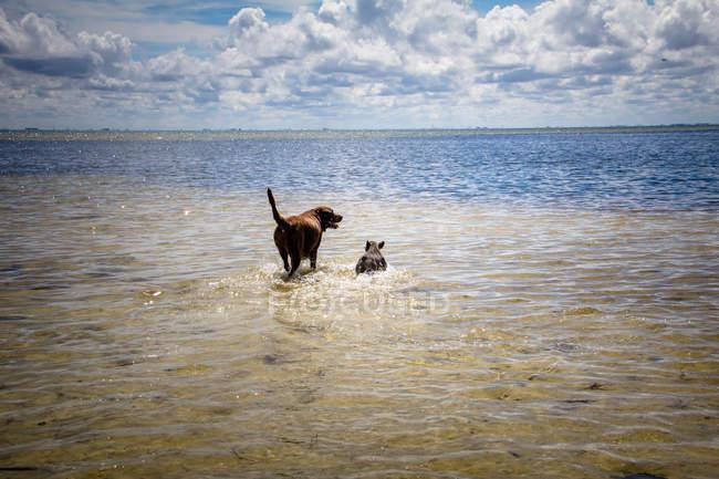 Chocolate labrador dog and French bulldog walking in ocean — Stock Photo
