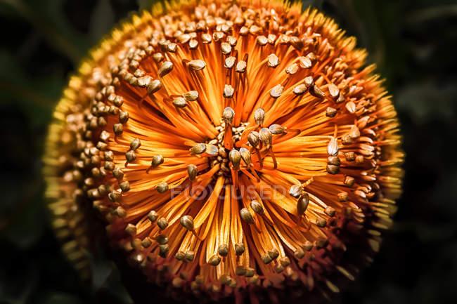 Primo piano del fiore lanoso Orange Banksia — Foto stock
