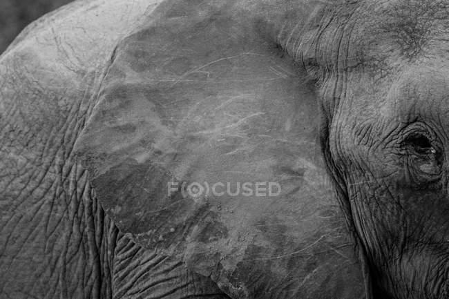 Vista do close-up de um focinho de elefante touro — Fotografia de Stock