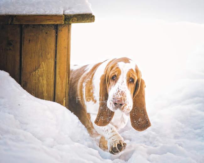 Basset Hund Hund zu Fuß im Schnee, Nahaufnahme Ansicht — Stockfoto
