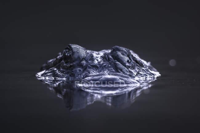 Портрет Алігатор, частково занурений на болоті — стокове фото