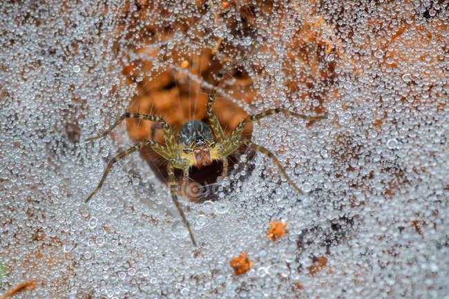 Vue de plan rapproché de l'araignée de loup dans sa toile, foyer sélectif — Photo de stock