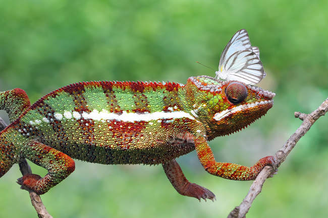 Side view of Butterfly on a chameleons head, selective focus — Stock Photo