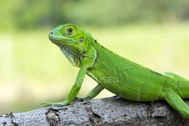 Green iguana on a branch, closeup view, selective focus — Stock Photo