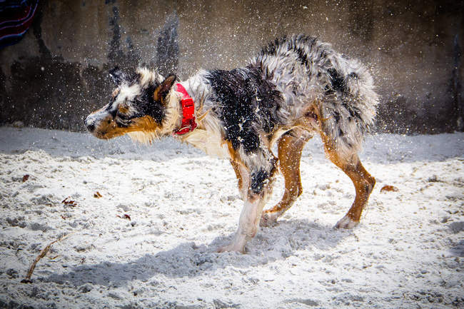 Australian Shepherd dog on beach shaking off water — Stock Photo
