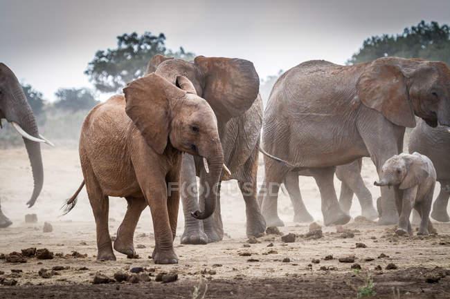 Стадо слонів, Тсаво Східний Національний парк, Кенія — стокове фото