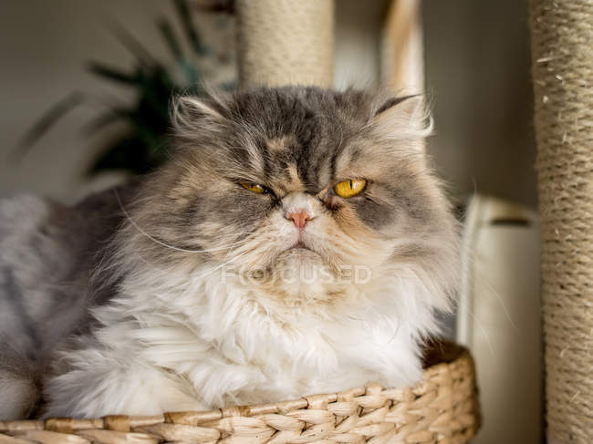 Furry cat sitting in a basket, closeup view — стоковое фото
