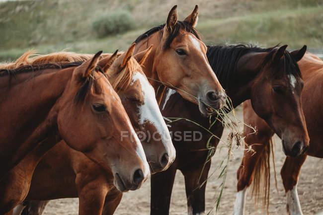Rangée de chevaux mangeant du foin — Photo de stock