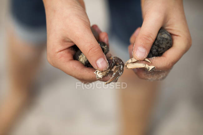 Boy's hands on beach holding crab claws and pebbles - foto de stock